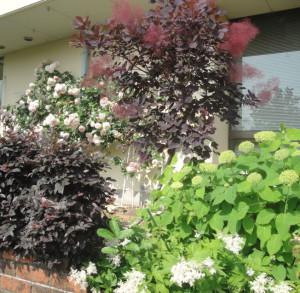 スモークツリーとバラ