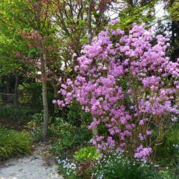 ミヤマツツジがとてもきれいに咲きました。